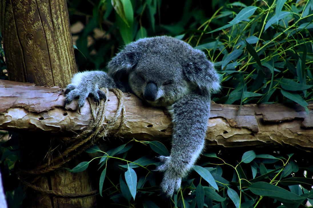 Koala by Phur-eak