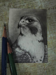 Peregrine Falcon ACEO by paintbigflowers