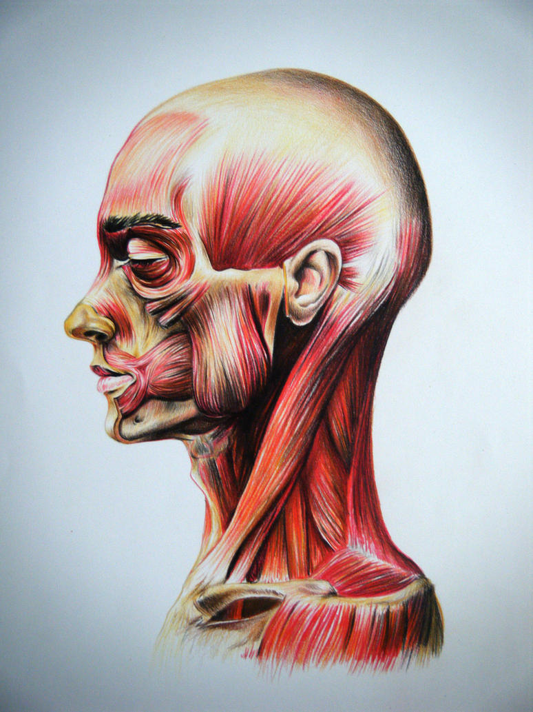 Anatomycal study of the facial muscles by chadk92 on DeviantArt