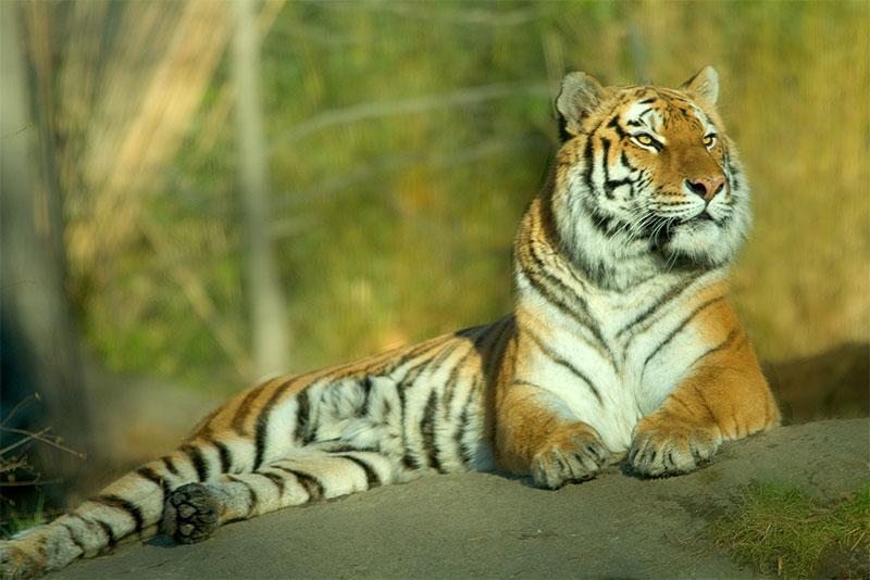 Tiger by dzaninov