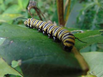 Monarch Catapiller