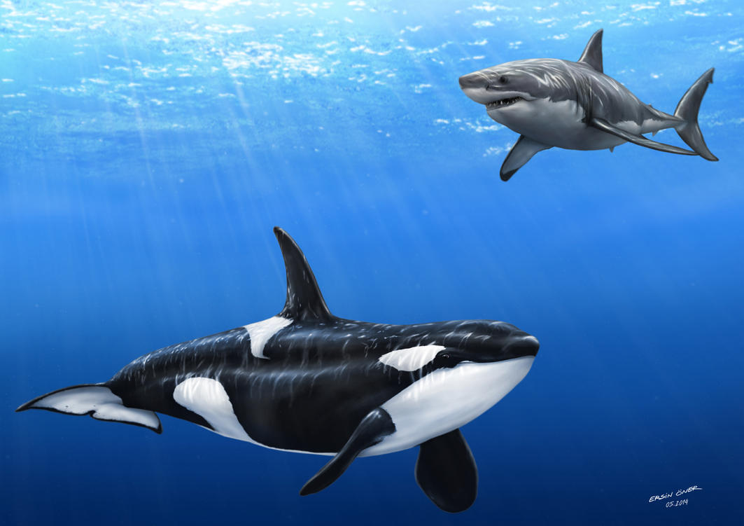 Image Gallery orca shark