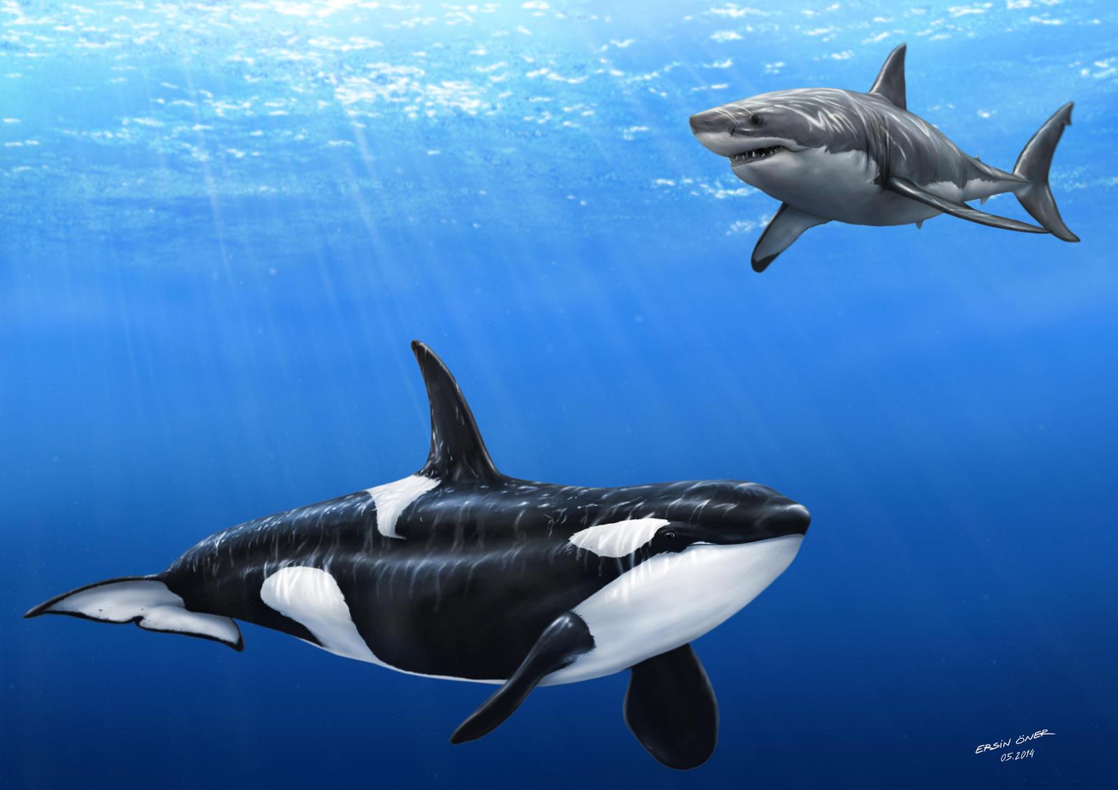 killer whale attacks - 1062×751