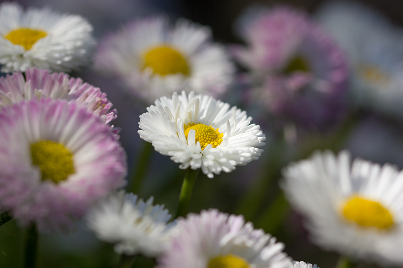 Double daisy, Bellis perennis 'Rominette White' by Sehlley