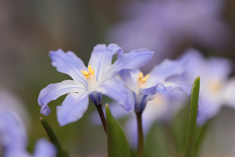 Chionodoxa luciliae, Lucile's glory-of-the-snow by Sehlley