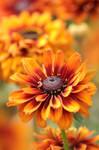 Coneflower, Rudbeckia hirta 'Cherokee Sunset'