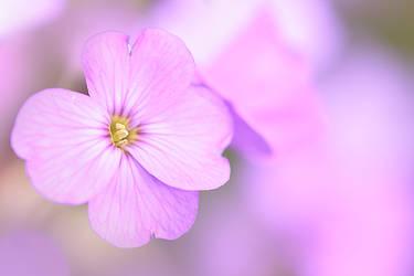 Aubrieta 'Spring Cascade'