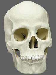 Human Adult Female Skull