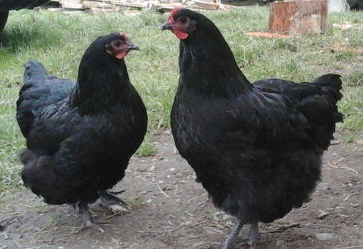 Two Black Orpington Pullets