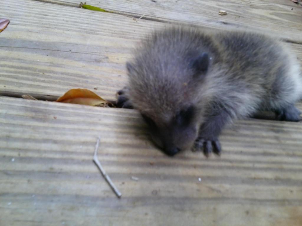 Baby Raccoon by salamanderFLAME