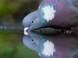 Pigeon drinking water by Xxvictinixx