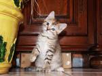 Cute female kitten