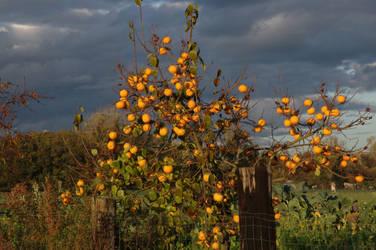 Golden apples II by Arayashikinoshaka