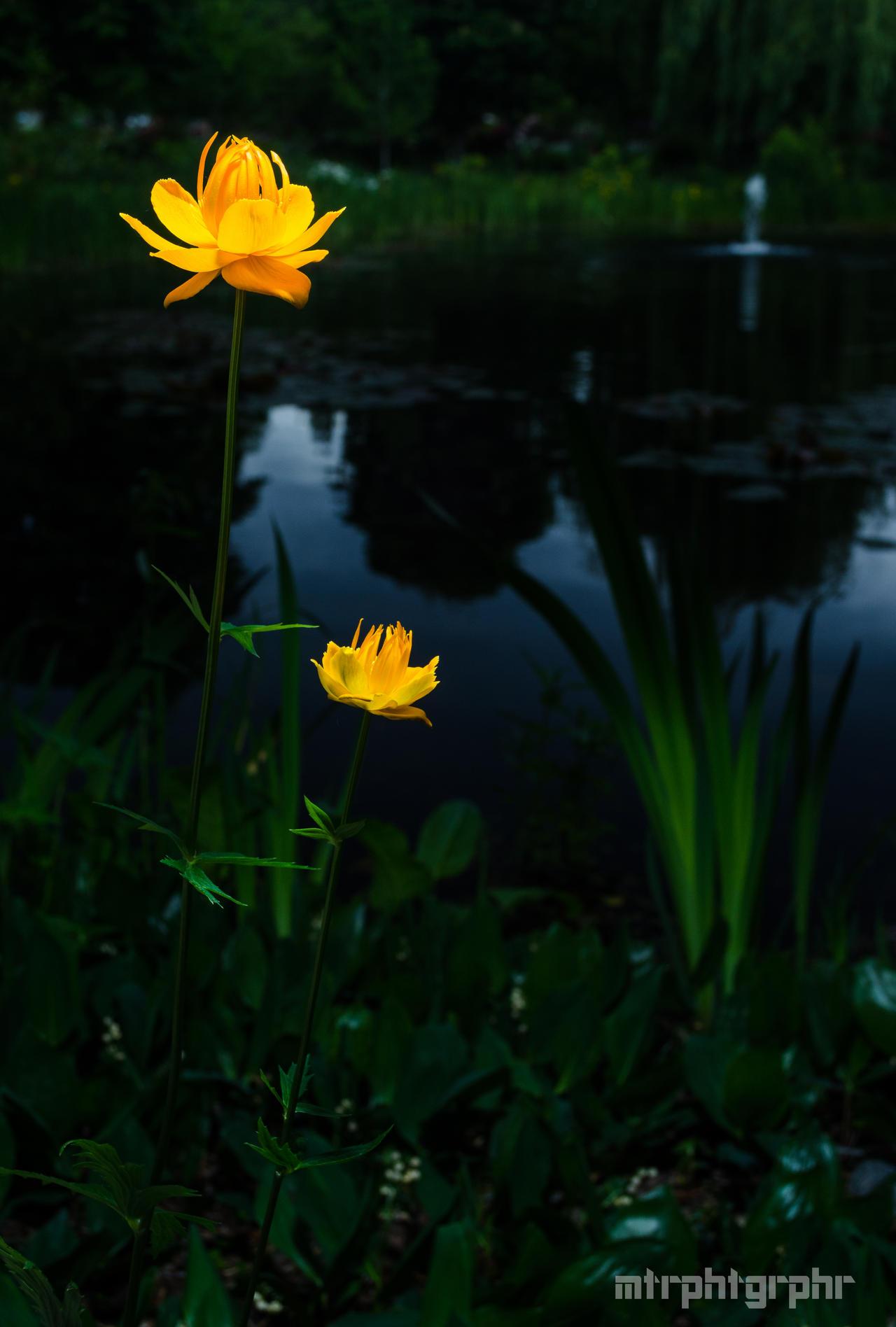 Linden Flower 3 by mtrphtgrphr on DeviantArt