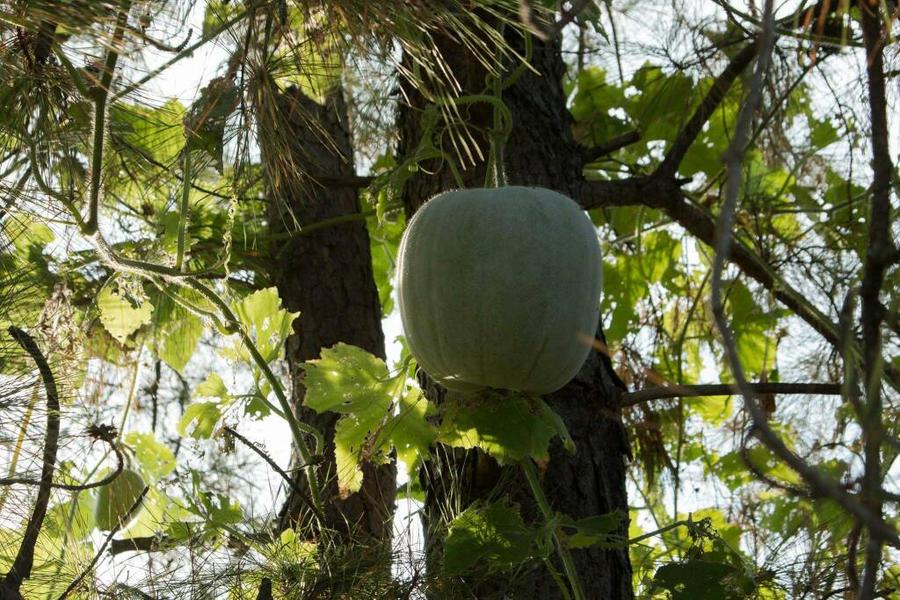 Pumpkin tree by Ankh-Infinitus