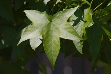 Tree star