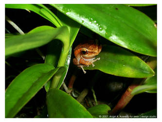 El Coqui of Puerto Rico by angelaacevedo