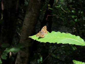 Butterfly by vksDC