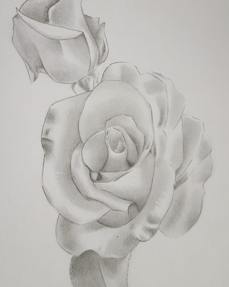 Rose Sketch by LianneC