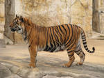 Tiger Stock