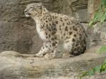 Snow Leopard Stock
