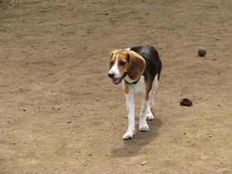 Beagle Stock