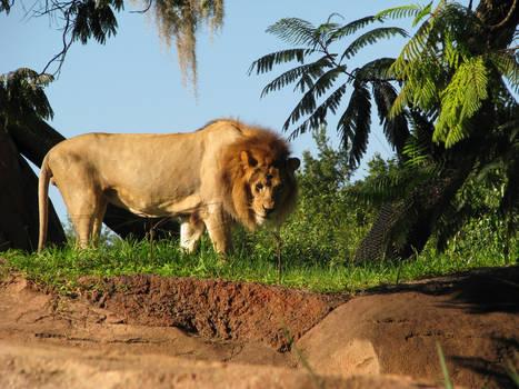 Lion Stock