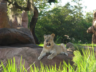 Lioness Stock
