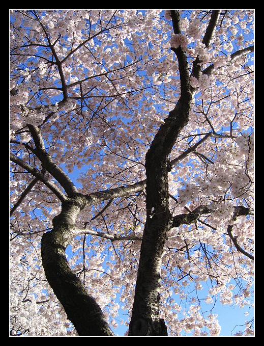 Cherry Blossom Tree by Paperback-writer-00