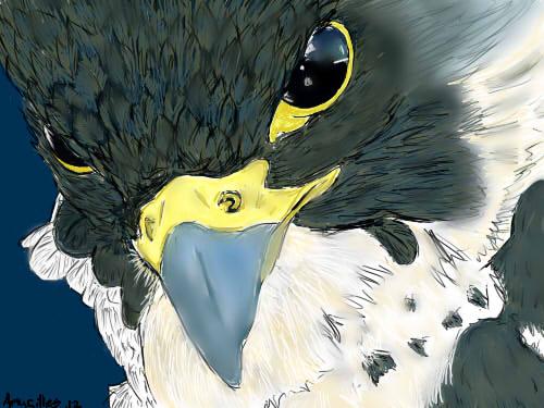 Peregrine Falcon Wallpaper Peregrine Falcon by