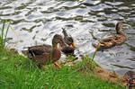 Ducks 03