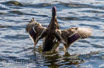 Duck 09