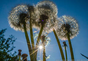 Dandelions in the Sun by parsek76