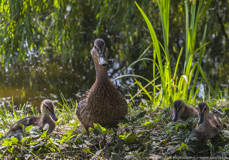 Duck with ducklings by parsek76