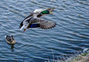 Duck flying away by parsek76
