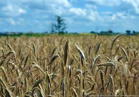 Field of wheat by parsek76