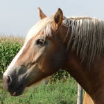 Equine Belgian Horse 01