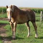 Equine Belgian Horse 05