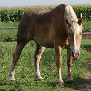 Equine Belgian Horse 06