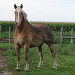 Equine Belgian Horse 09