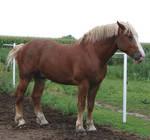 Equine Belgian Horse 12