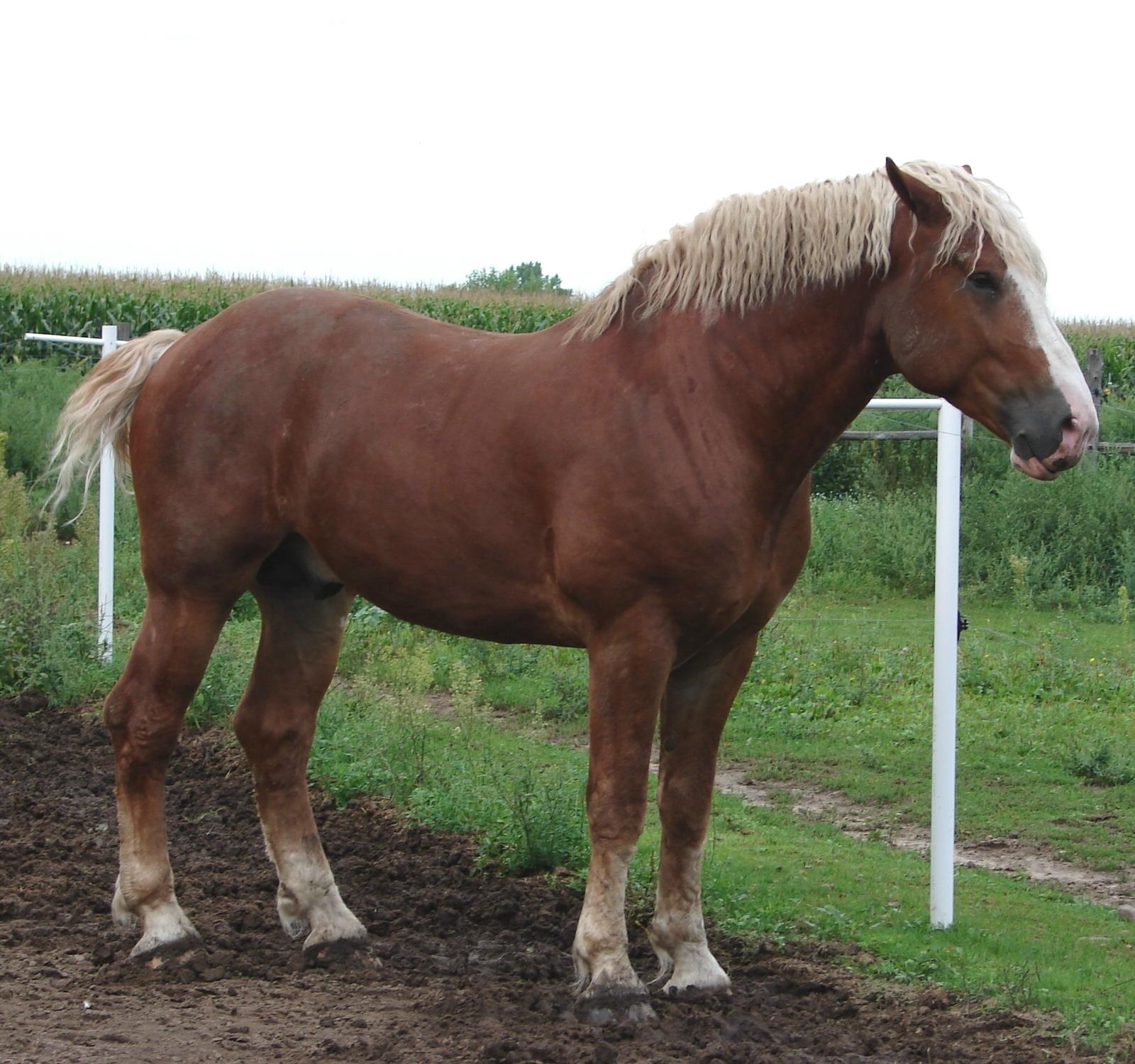 Belgian Horse for Pint...