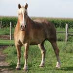 Equine Belgian Horse 13