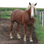 Equine Belgian Horse 16