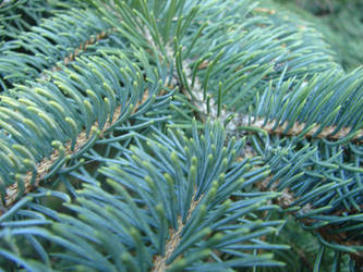 Green Evergreen Pine Texture by FantasyStock
