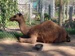 Arabian Dromedary Camel