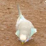 Budgerigar Parakeet Stock 1