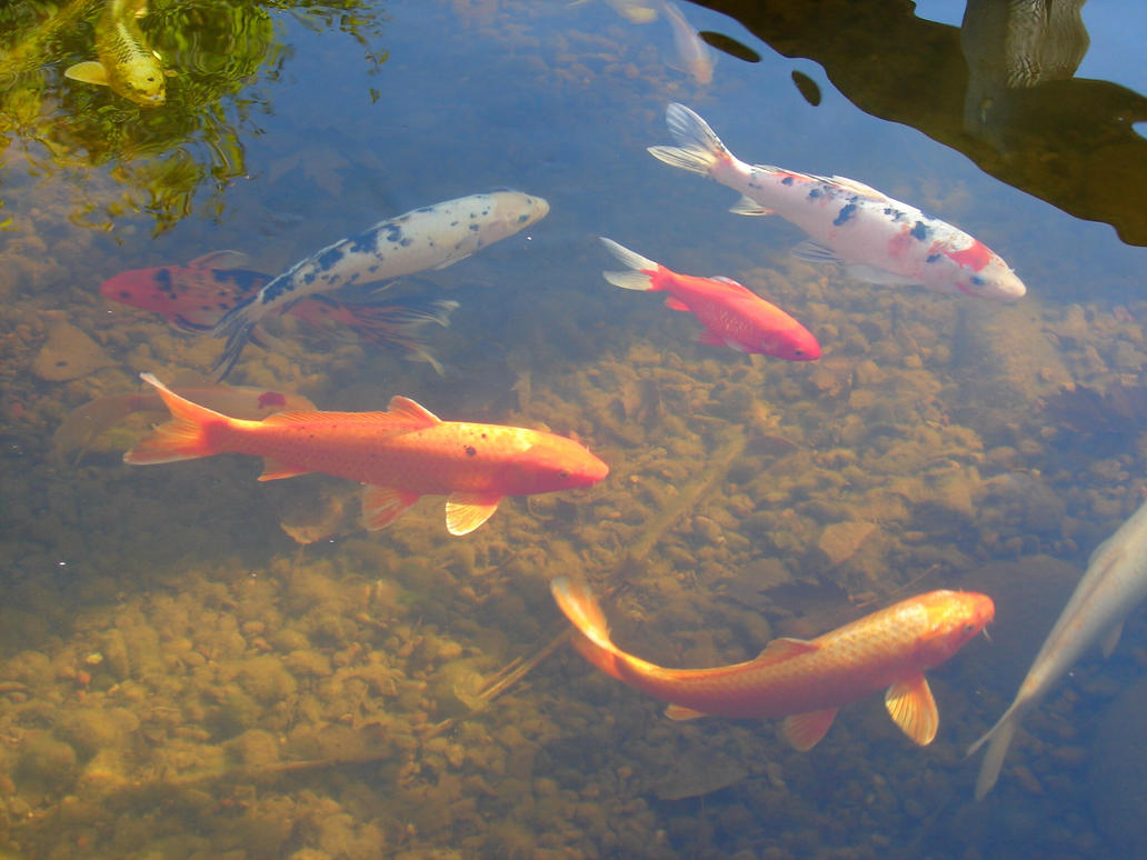 Nishikigoi koi carp fish 4 by fantasystock on deviantart for Koi fish species