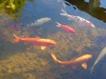 Nishikigoi Koi Carp Fish 4