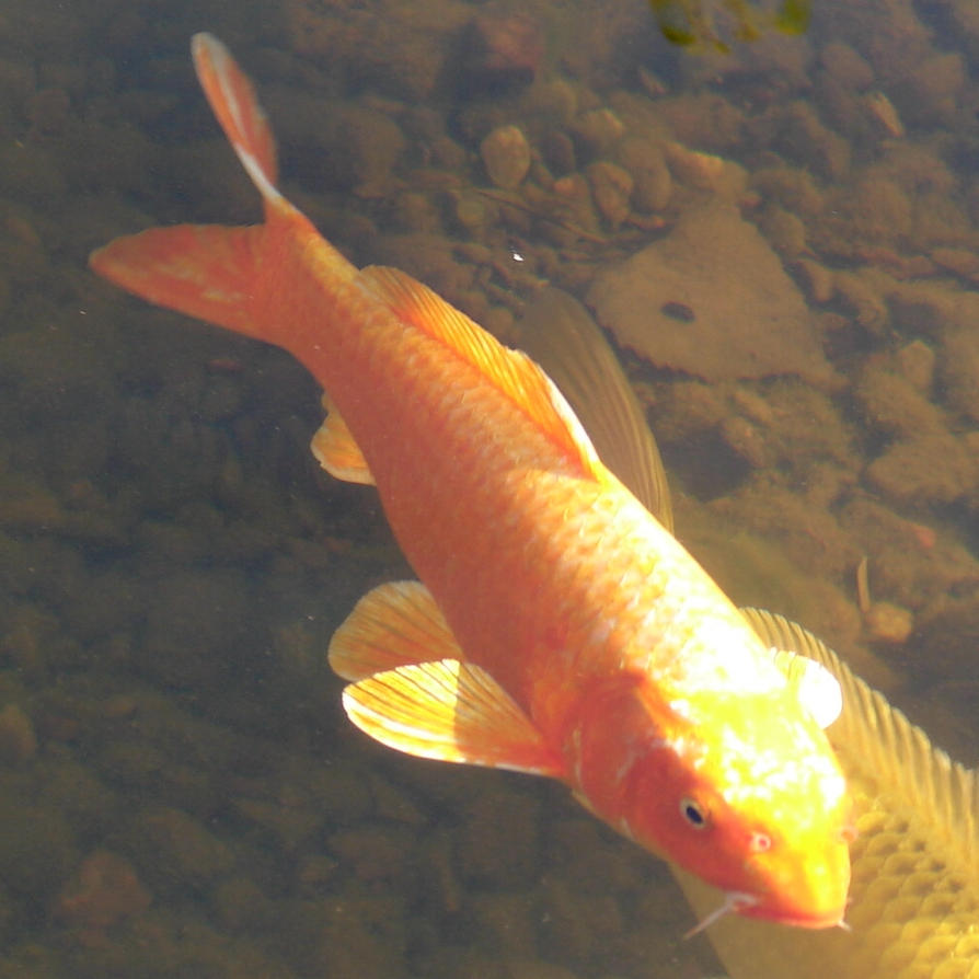 Nishikigoi koi carp fish 5 by fantasystock on deviantart for Fraie carpe koi
